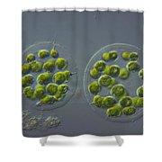 Eudorina Elegans, Green Algae, Lm Shower Curtain