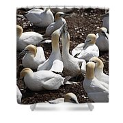 Gannet Birds Showing Fencing Behavior Shower Curtain