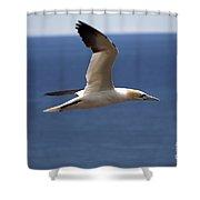 Gannet In Flight Shower Curtain