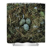 Glaucous-winged Gull Nest With Three Shower Curtain