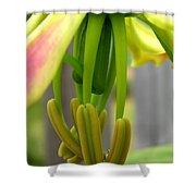 Gloriosa Named Rothschildiana Shower Curtain