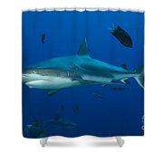 Gray Reef Shark, Kimbe Bay, Papua New Shower Curtain