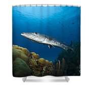 Great Barracuda, Belize Shower Curtain