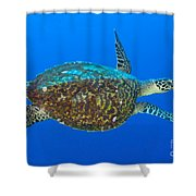 Hawksbill Sea Turtle, Kimbe Bay, Papua Shower Curtain