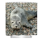 Injured Harbor Seal Shower Curtain