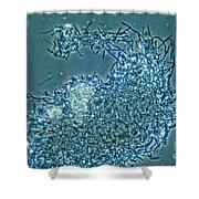 Lactobacillus Sp. Bacteria, Lm Shower Curtain