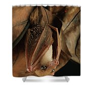 Lesser Long-tongued Fruit Bat Shower Curtain