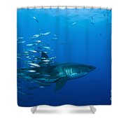 Male Great White Shark And Bait Fish Shower Curtain