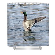 Mallard Duck Showing Off Shower Curtain