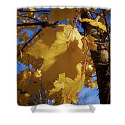 Maple In Fall Shower Curtain