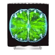 Micrasterias Shower Curtain by M. I. Walker