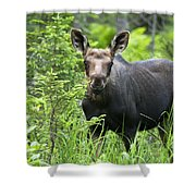Moose. Two Month Old Moose Standing Shower Curtain