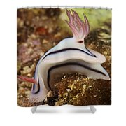 Nudibranch Feeding On The Reef, Fiji Shower Curtain