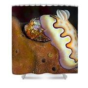 Nudibranch On Orange Sponge, Kimbe Bay Shower Curtain