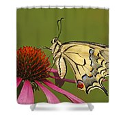 Oldworld Swallowtail Papilio Machaon Shower Curtain