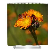 Orange Hawkweed Shower Curtain