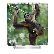 Orangutan Pongo Pygmaeus Adult Sitting Shower Curtain
