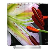 Oriental Lily Hybrid Named Mojave Shower Curtain