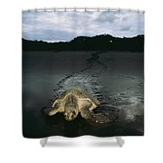 Pacific Ridley Turtle Lepidochelys Shower Curtain