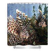 Pair Of Lionfish, Indonesia Shower Curtain
