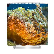 Papuan Scorpionfish Lying On A Reef Shower Curtain
