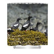 Pigeon Guillemot Cepphus Columba Group Shower Curtain