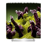 Plasmodium Gallinaceum, Sem Shower Curtain by Science Source