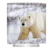 Polar Bear, Churchill, Manitoba Shower Curtain