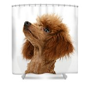 Red Toy Poodle Shower Curtain