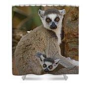 Ring-tailed Lemur Lemur Catta Mother Shower Curtain