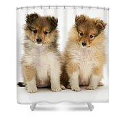 Sheltie Puppies Shower Curtain by Jane Burton