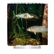 Striped Bass In Aquarium Tank On Cape Cod Shower Curtain