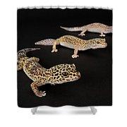 Three Female Leopard Geckos Eublepharis Shower Curtain