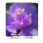 Tradescantia Named Andersonia Mauve Shower Curtain