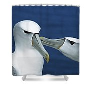 White-capped Albatross Thalassarche Shower Curtain