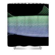 X-ray Of An Atlantic Mackerel Shower Curtain