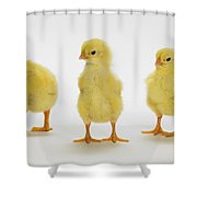 Yellow Chicks. Baby Chickens Shower Curtain by Thomas Kitchin & Victoria Hurst