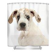 Great Dane Pup Shower Curtain
