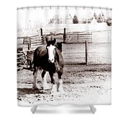 1900  Clydesdale Horse Shower Curtain