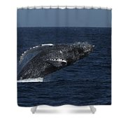 A Breaching Humpback Whale Shower Curtain