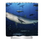 A Large 10 Foot Tiger Shark Swims Shower Curtain