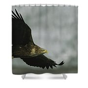 An Endangered White-tailed Sea Eagle Shower Curtain