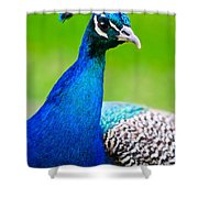 Beautiful And Pride Peacock On A Lawn Shower Curtain