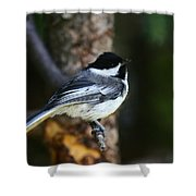 Blackcapped Chickadee Shower Curtain