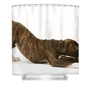 Brindle Boxer Pup Shower Curtain
