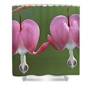 Close View Of Dutchmans Breeches, Or Shower Curtain