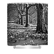 Daffodils In St. James's Park Shower Curtain