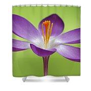Dutch Crocus Crocus Vernus Flower Shower Curtain