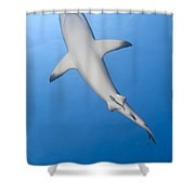 Gray Reef Shark With Remora, Papua New Shower Curtain