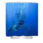 Great White Shark And Divers, Guadalupe Shower Curtain